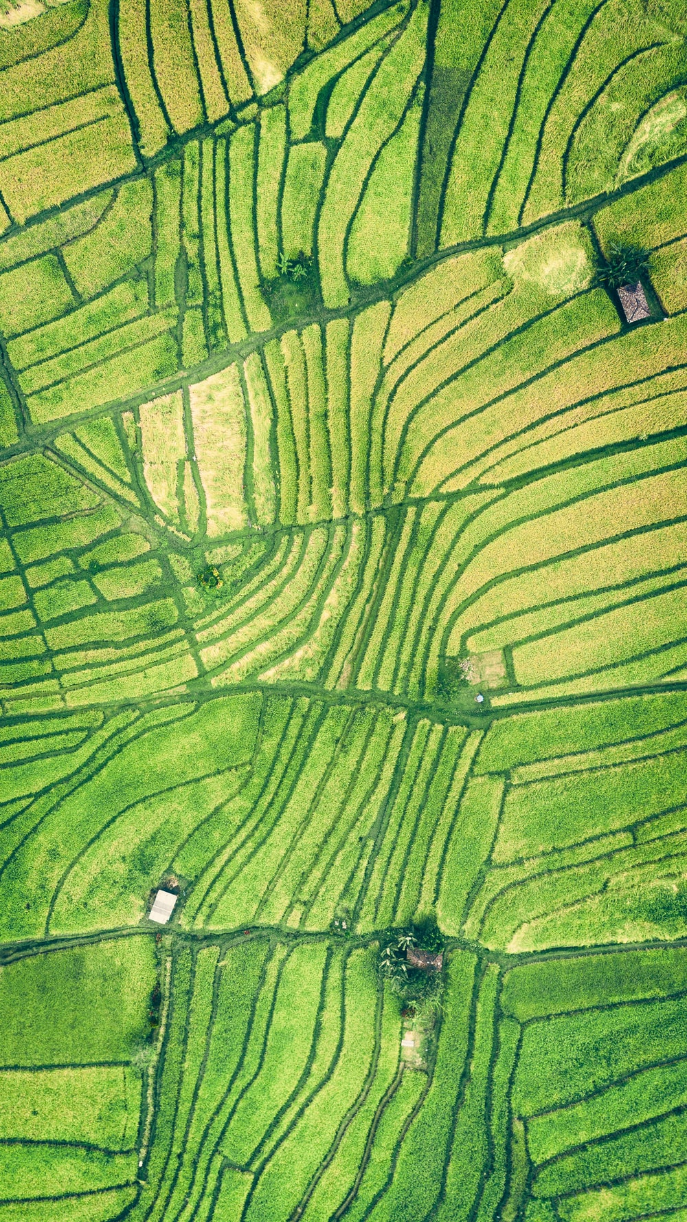 aerial photography of rice field