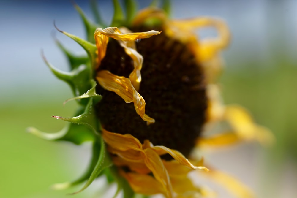 closeup photography of withered sunflower