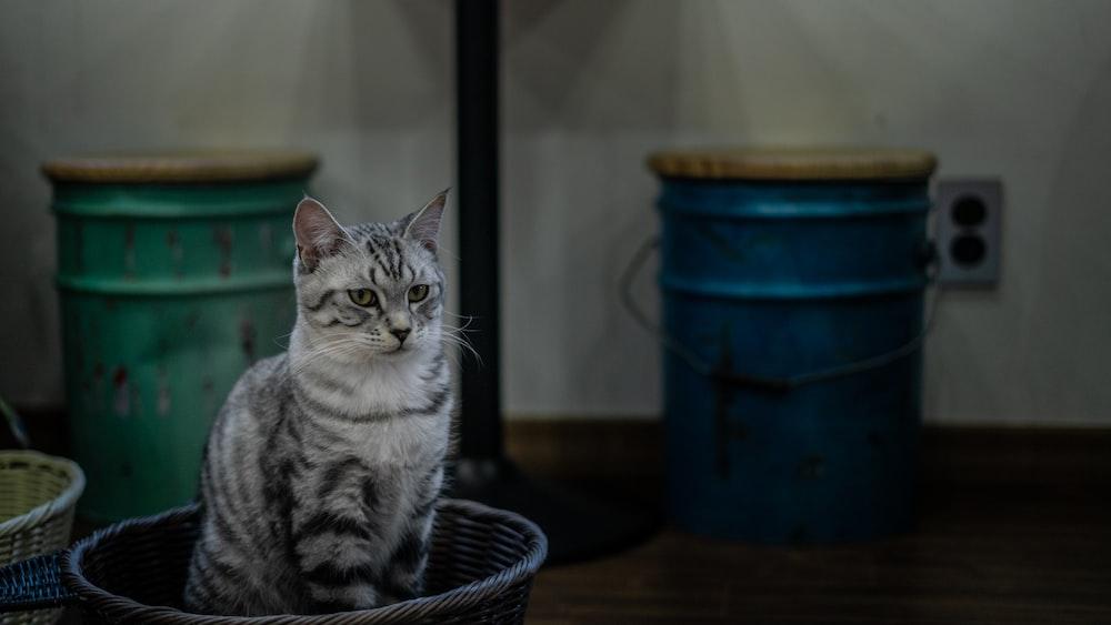 grey tabby cat in wicker basket