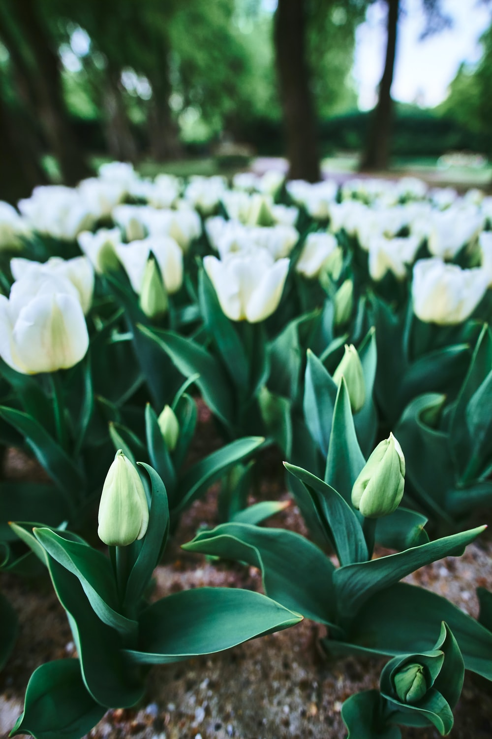 white tulips in bloom during daytime