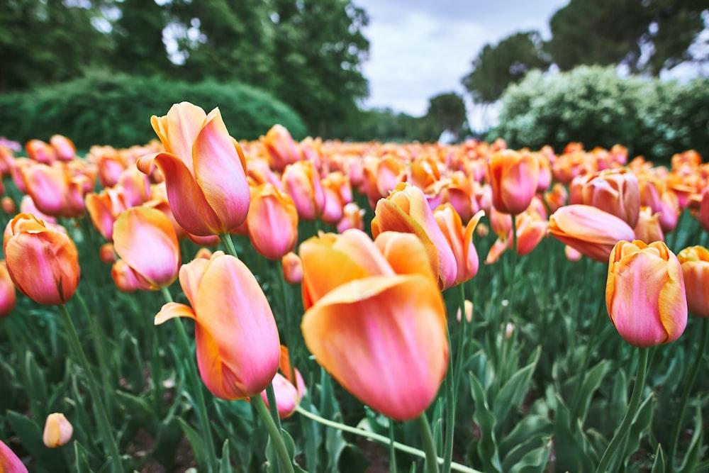 blooming orange tulip flower field