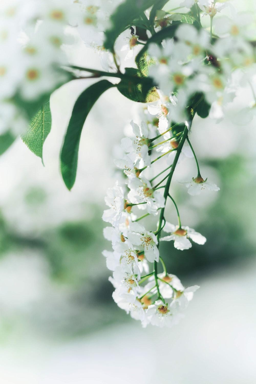 white petaled flower plants