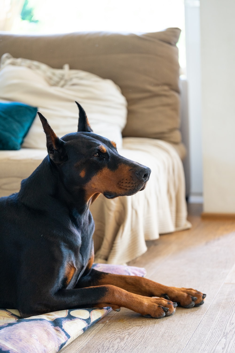 adult black and tan Doberman pinscher inside room