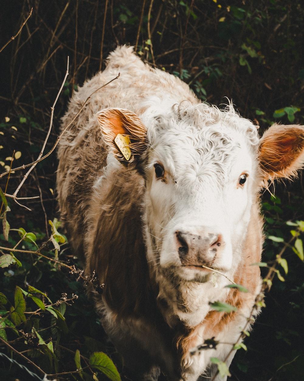 white cattle beside green plant