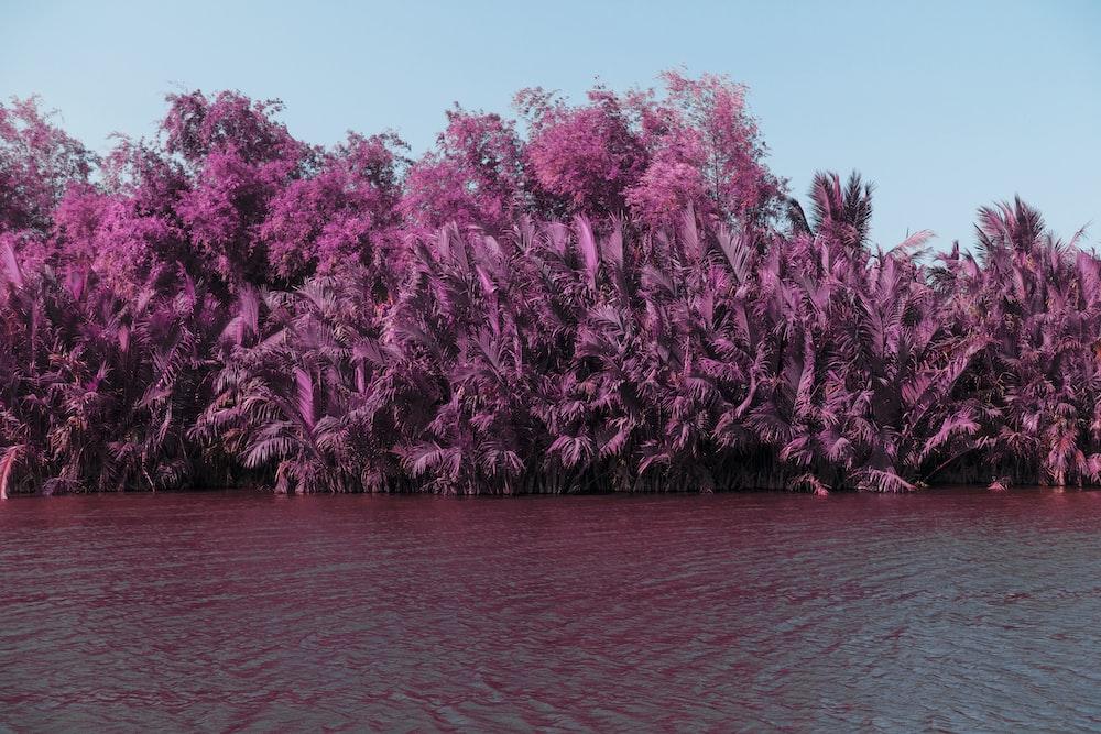 body of water beside pink plants