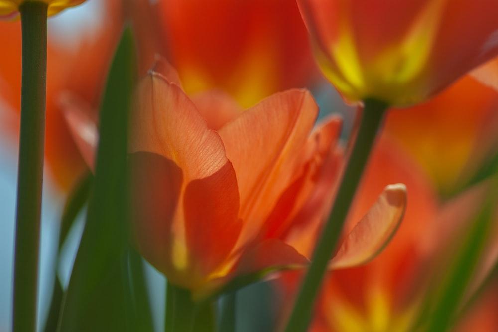 orange tulips blooming