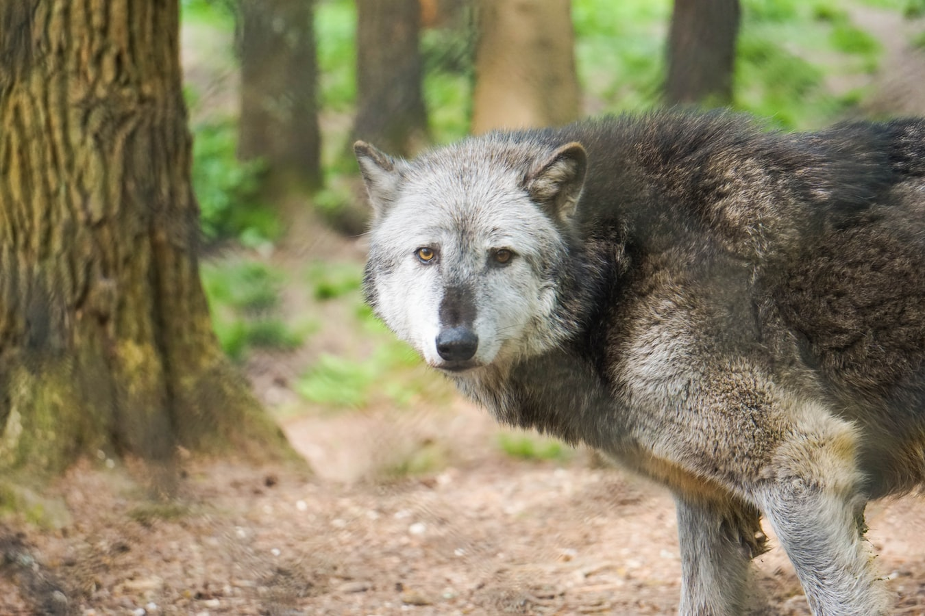 The Relentless Slaughter of Wolves Paved the Way for a Predator that Refuses to Die
