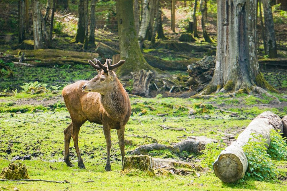 brown horned animal beside trees
