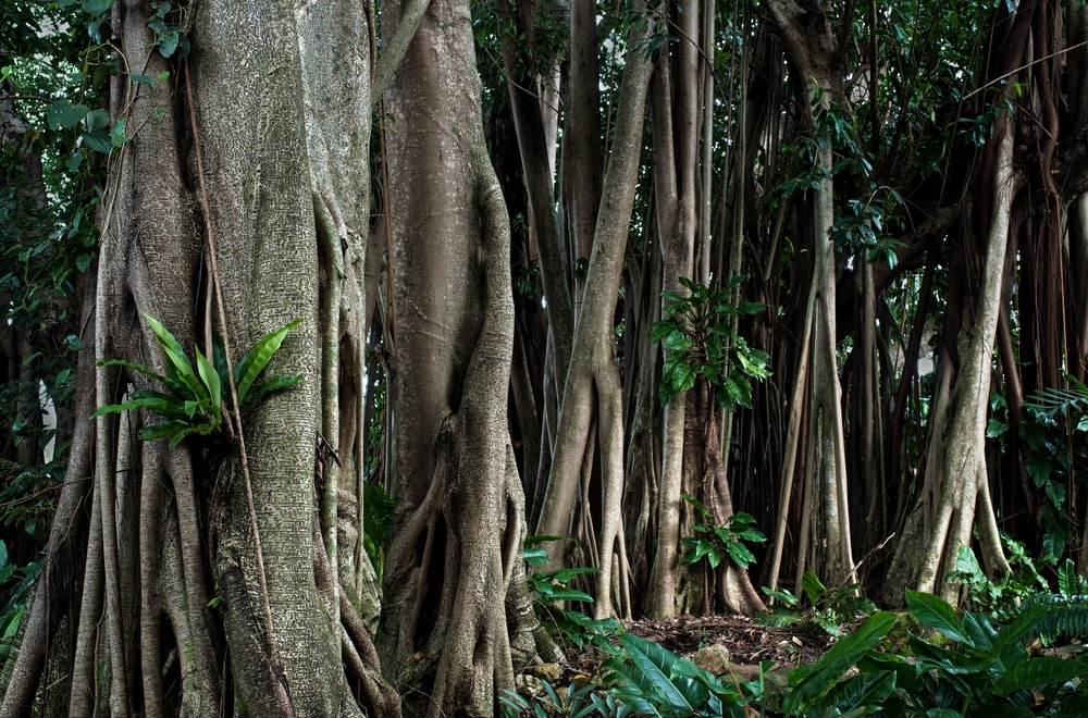 Rubber Tree Pictures Free Images On Unsplash