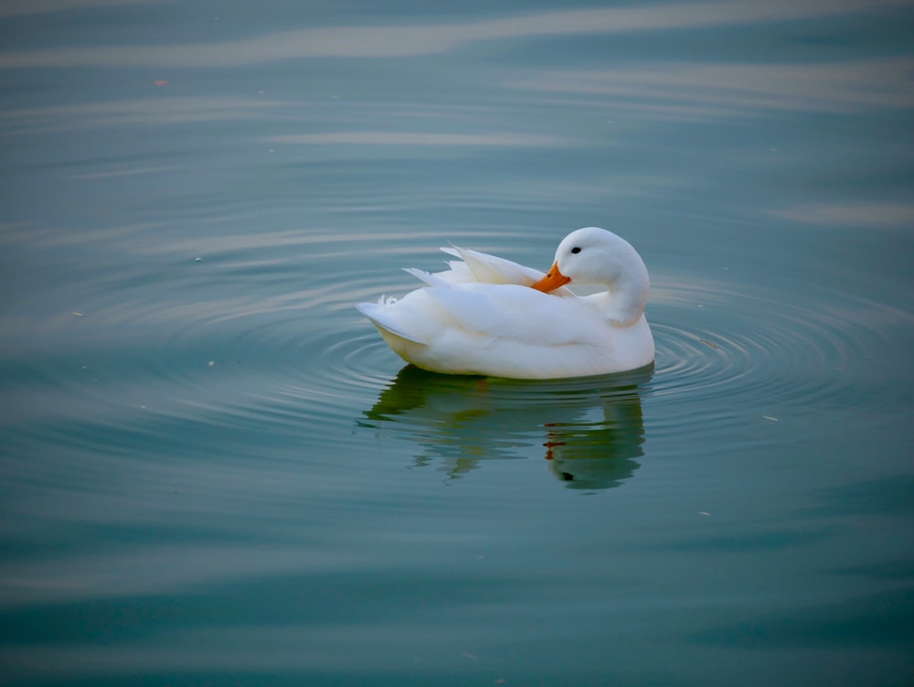 white duck in a body of water during daytime