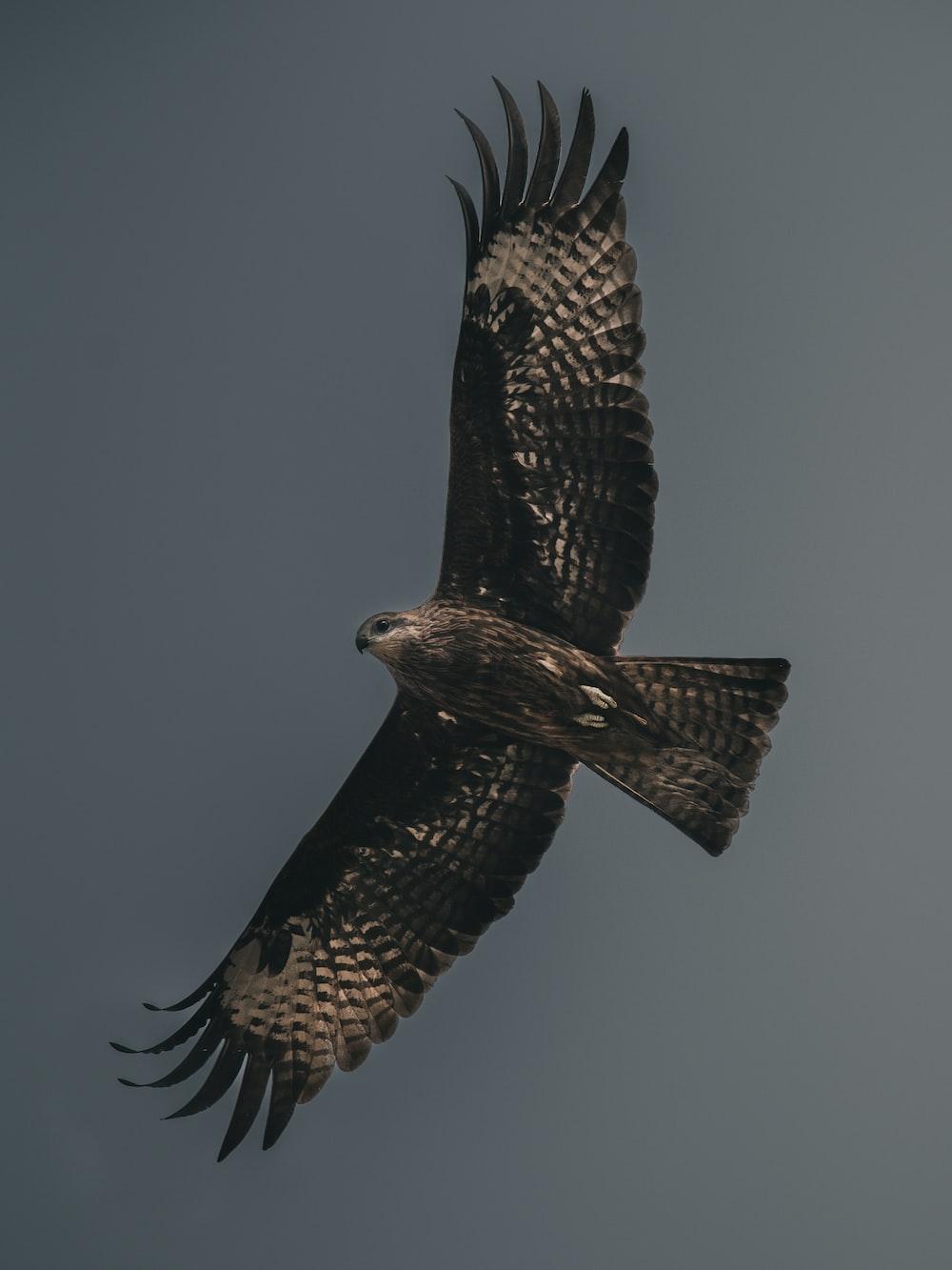 white and black American bald eagle midair