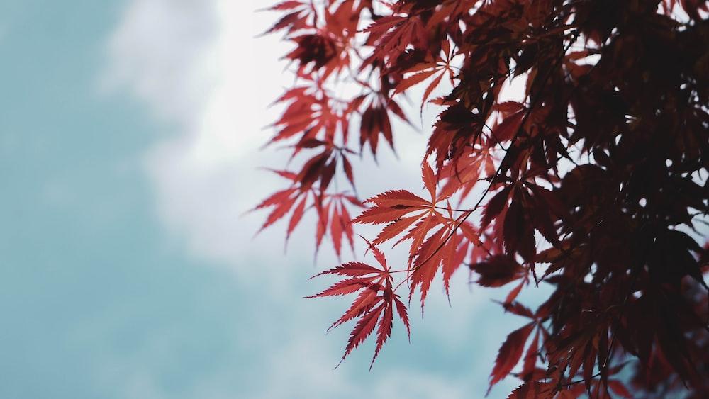red tree leaf