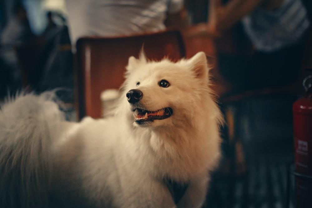 medium-coated white dog photo