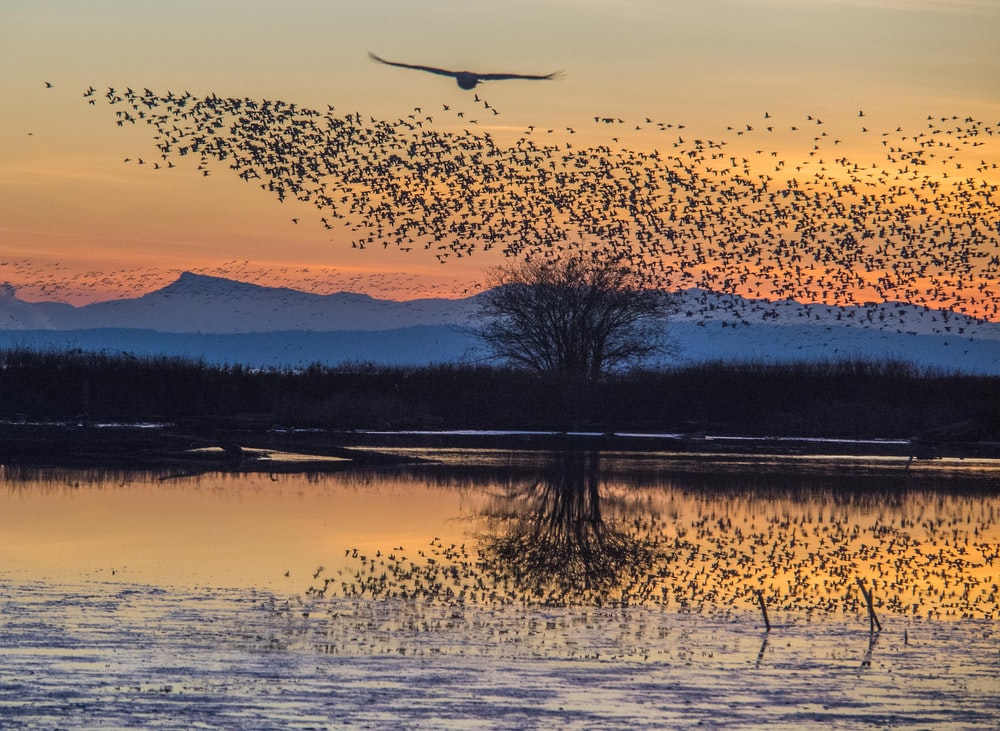 swam of birds during golden hour