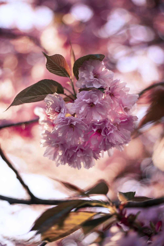 pink petaled flower tree