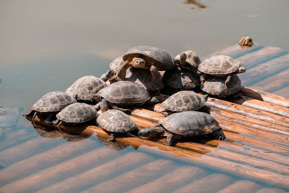 turtle lot in a wooden surface with water during daytime