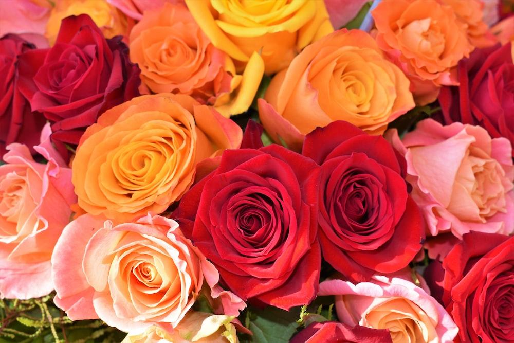 orange, red, and pink rose flower