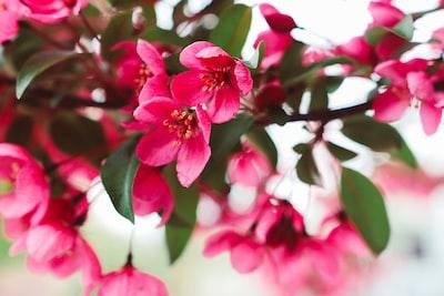 close-up photography of pink petaled flower sakura teams background