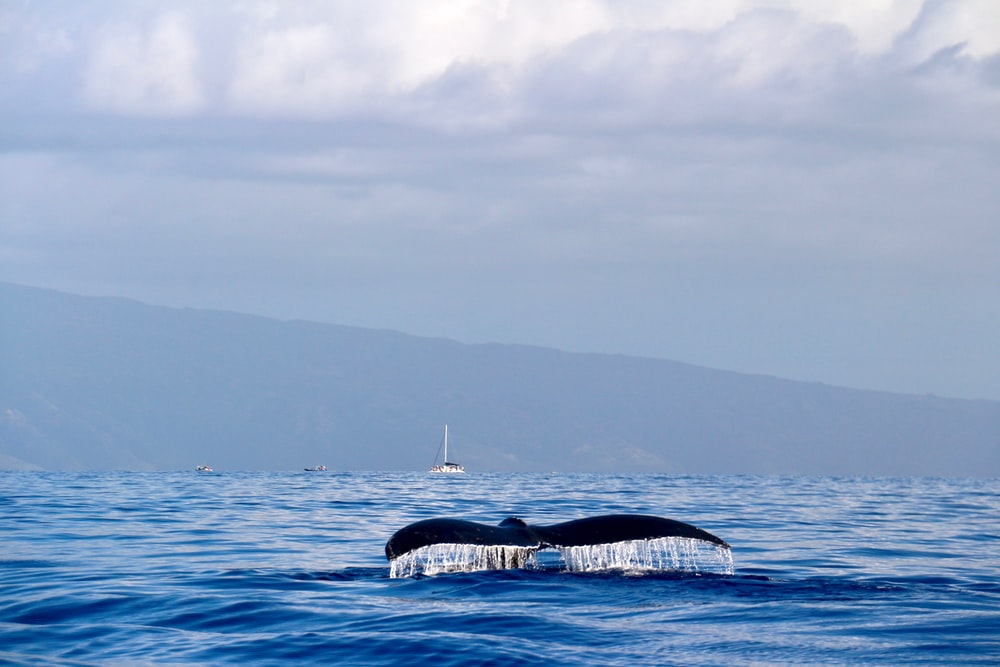 whale's tail over sea