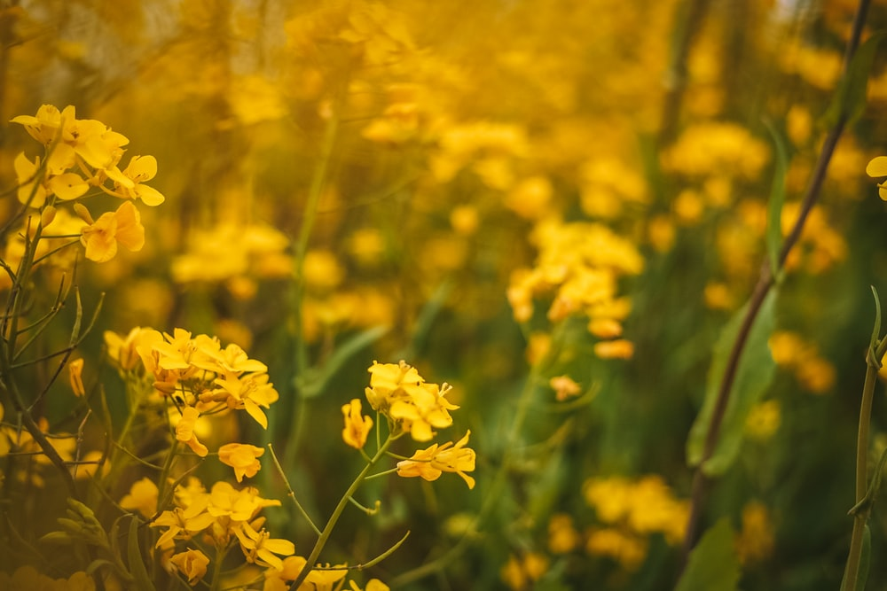 yellow cluster flowers