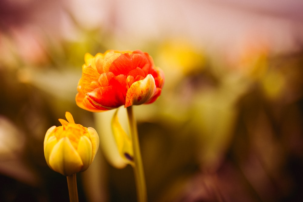 selective focus photography of red and yellow petaled flowers