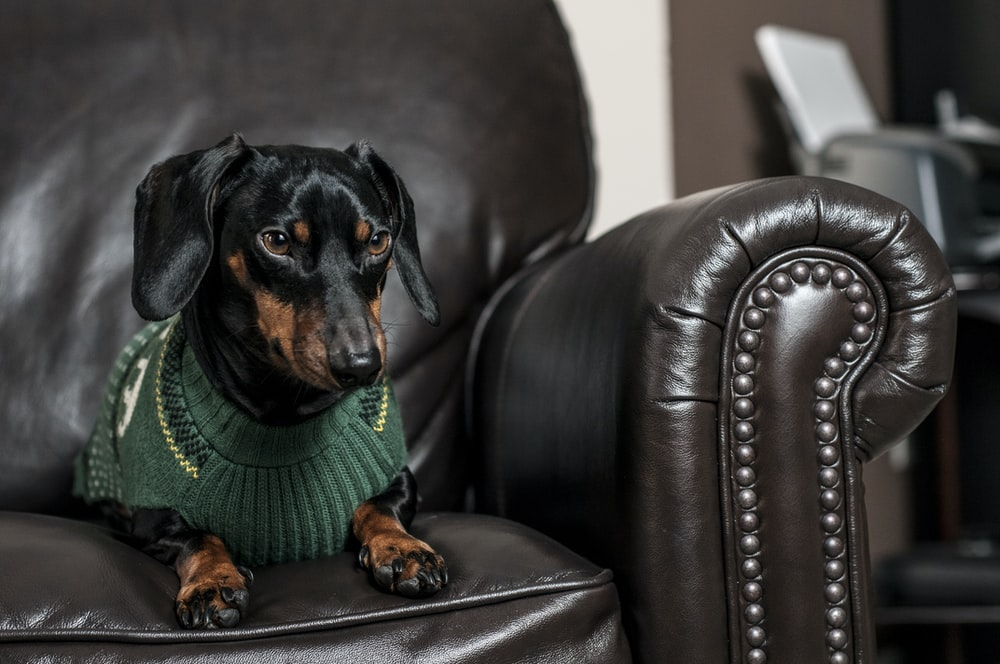 black and brown Chihuahua sitting on black leather armchair