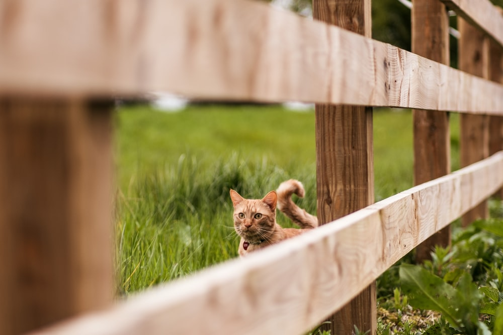 orange tabby cat behind brown wooden fence