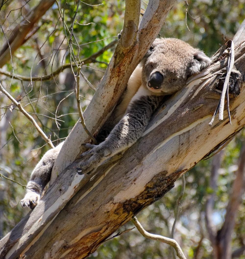 gray koala on tree