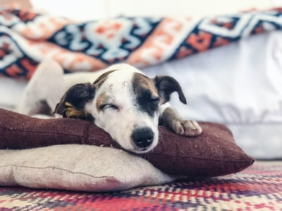 dog lies in pillow blanket teams background