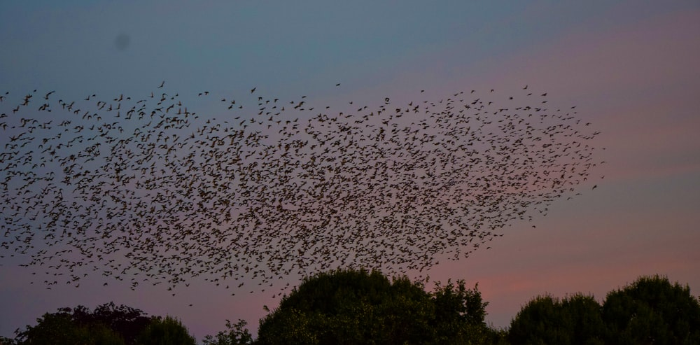 selective focus photography of flock of bird flying on sky during sunset