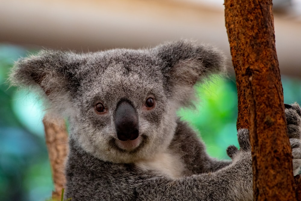 100 Koala Pictures Download Free Images On Unsplash