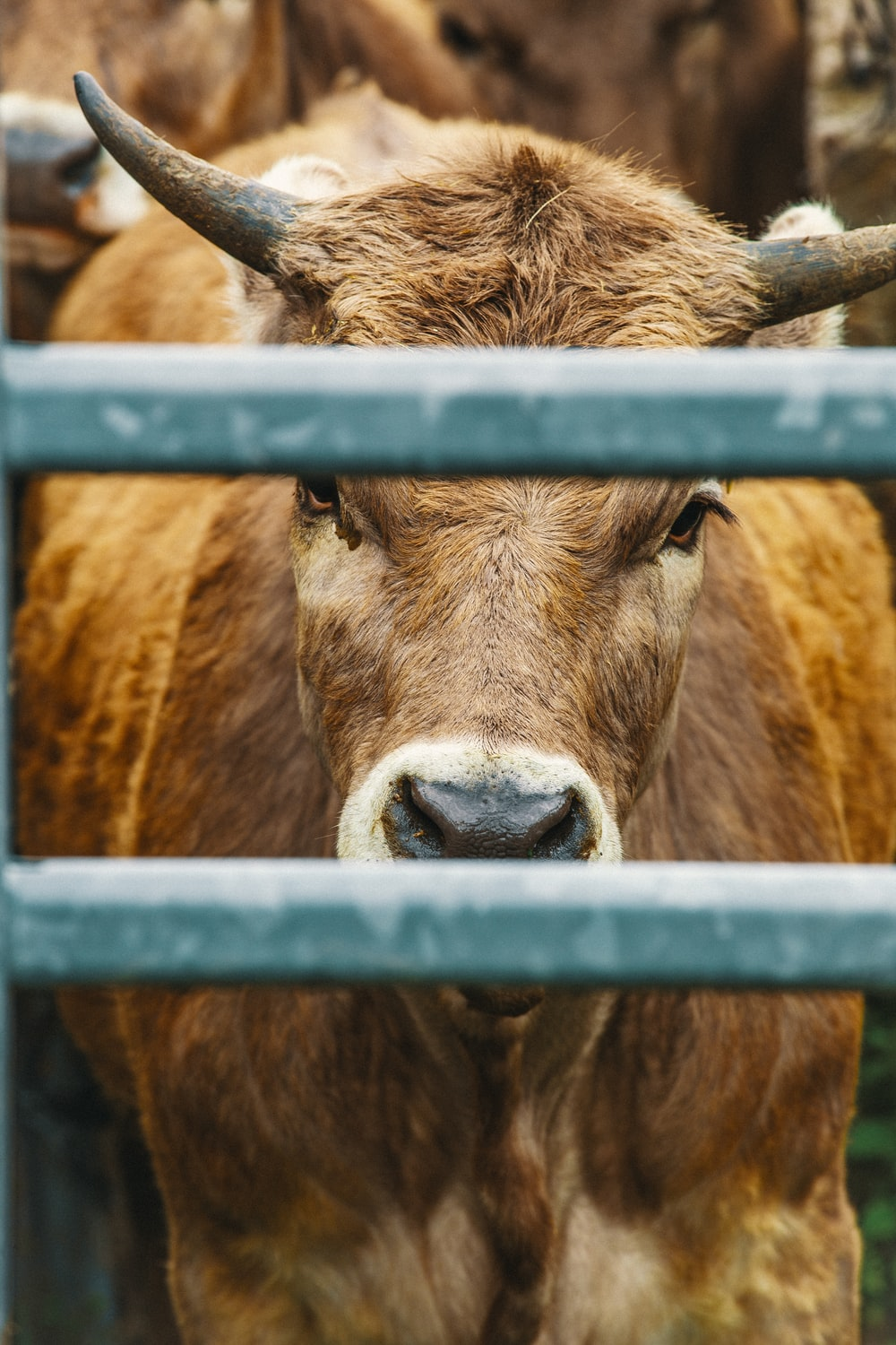 brown bull behind grey metal fence