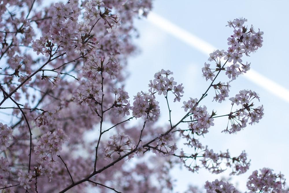 white cherry blossom tree under white sky