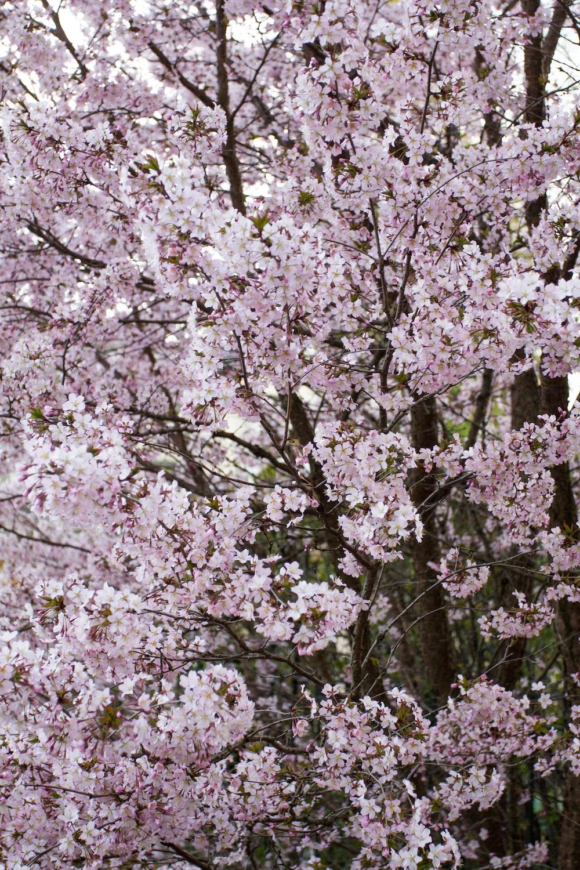 purple sakura tree
