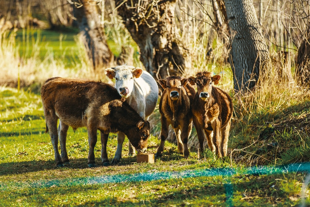 four brown and white cattle on green grass field during daytime