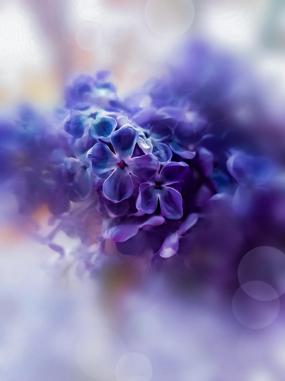 closeup photography of purple lilacs