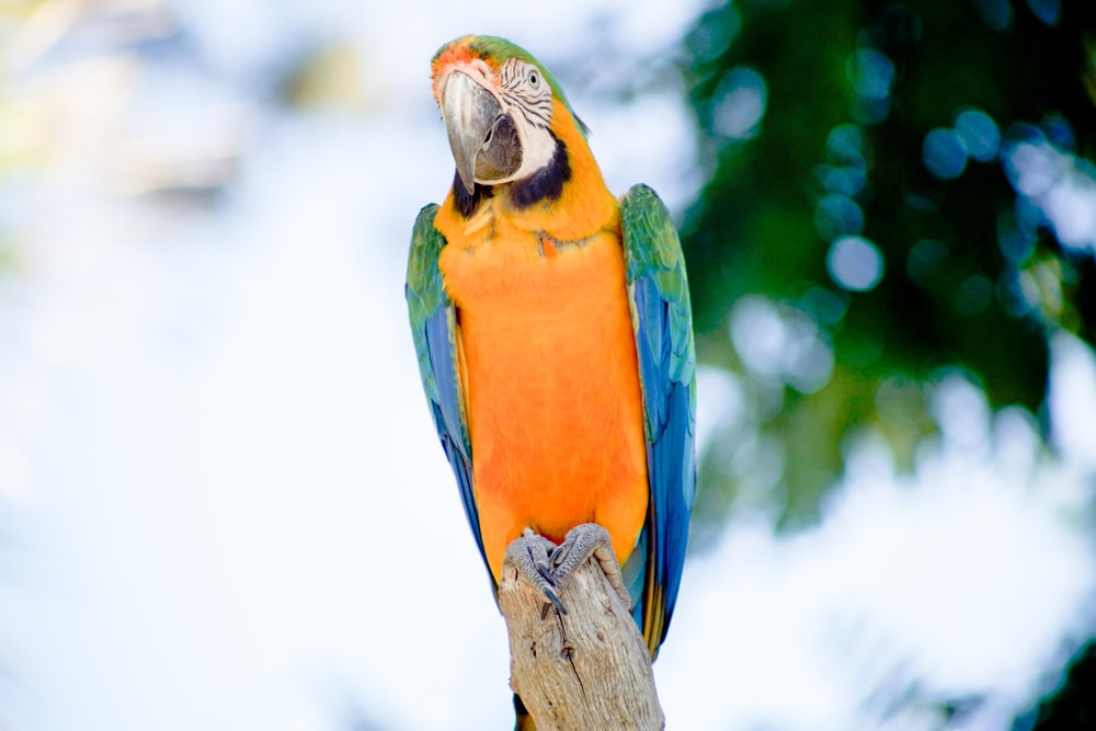 green, blue, and yellow macaw parrot