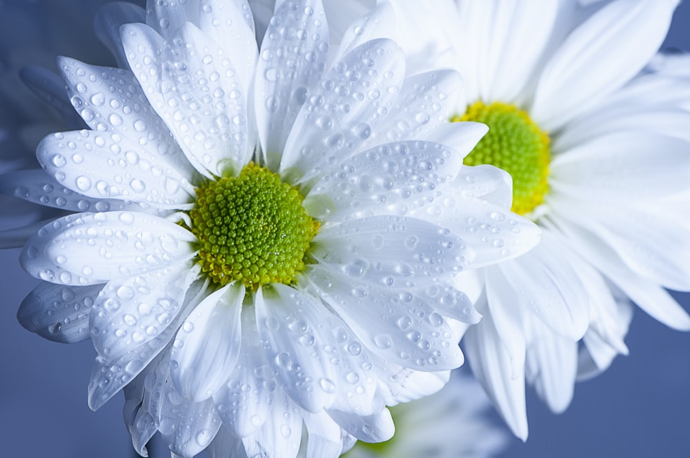 water dew on white flowers