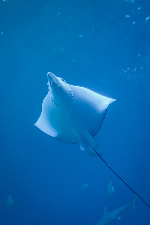 stingray under water photo