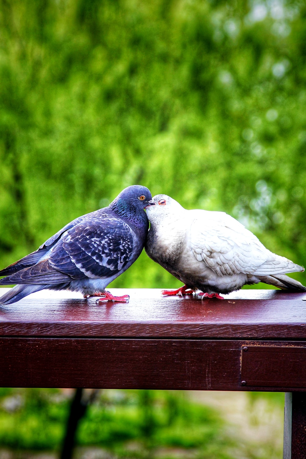 shallow focus photo of two blue and white pigeons