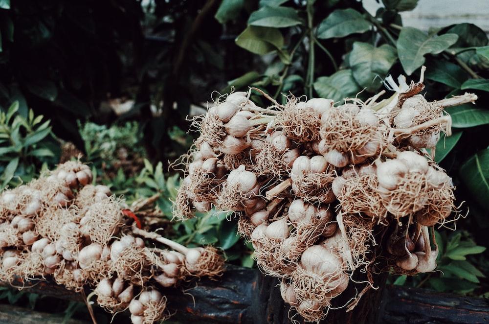 white garlic lot