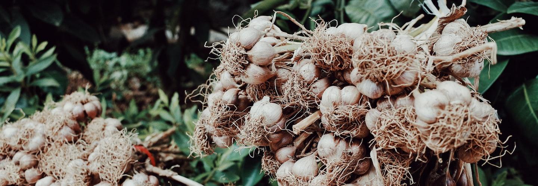 Growing Garlic in Your Home Garden