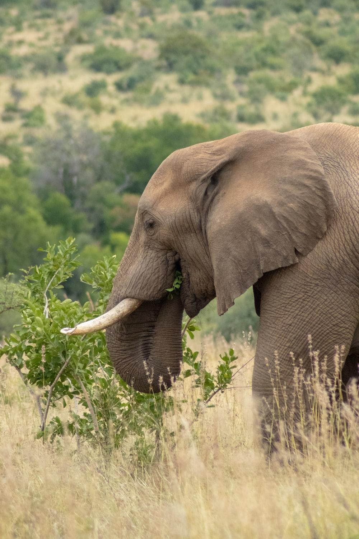 grey elephant grazing on open field