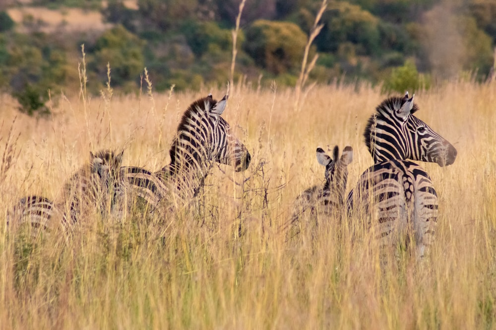 zebras in a field during daytime