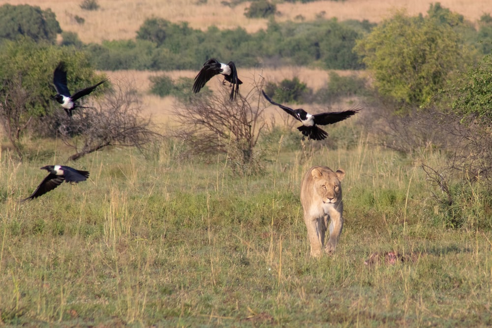 lioness on green field and four black and white birds flying