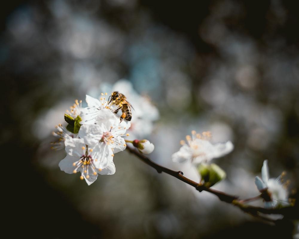 honey bee sniffing on white petaled flower