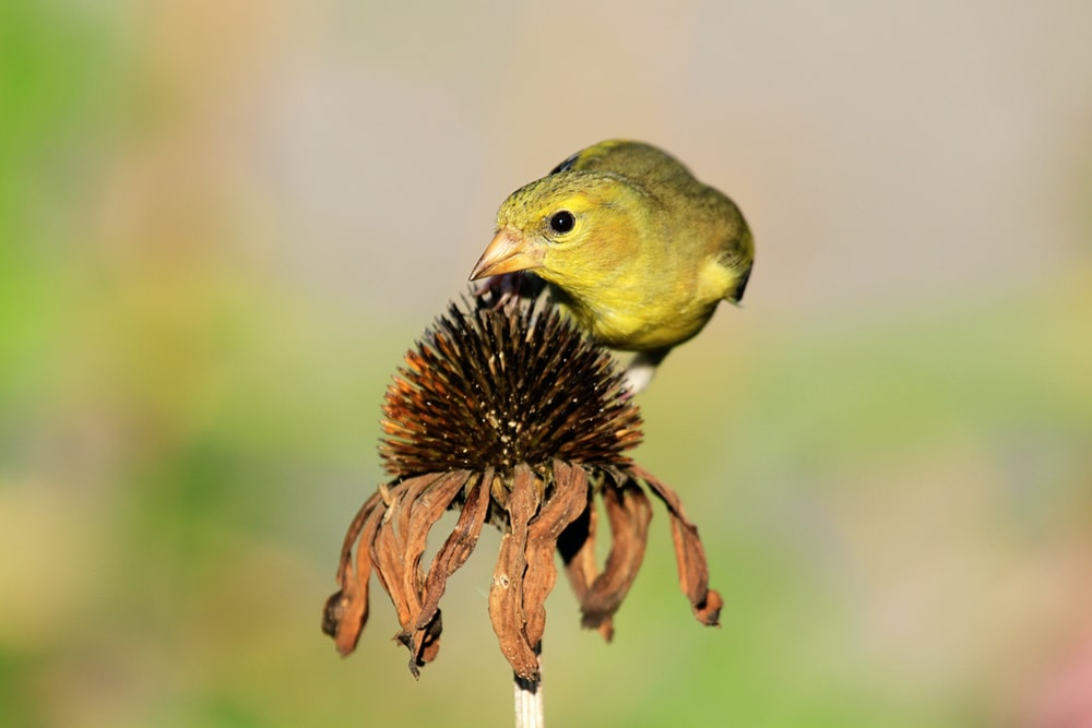 yellow bird on withered flower