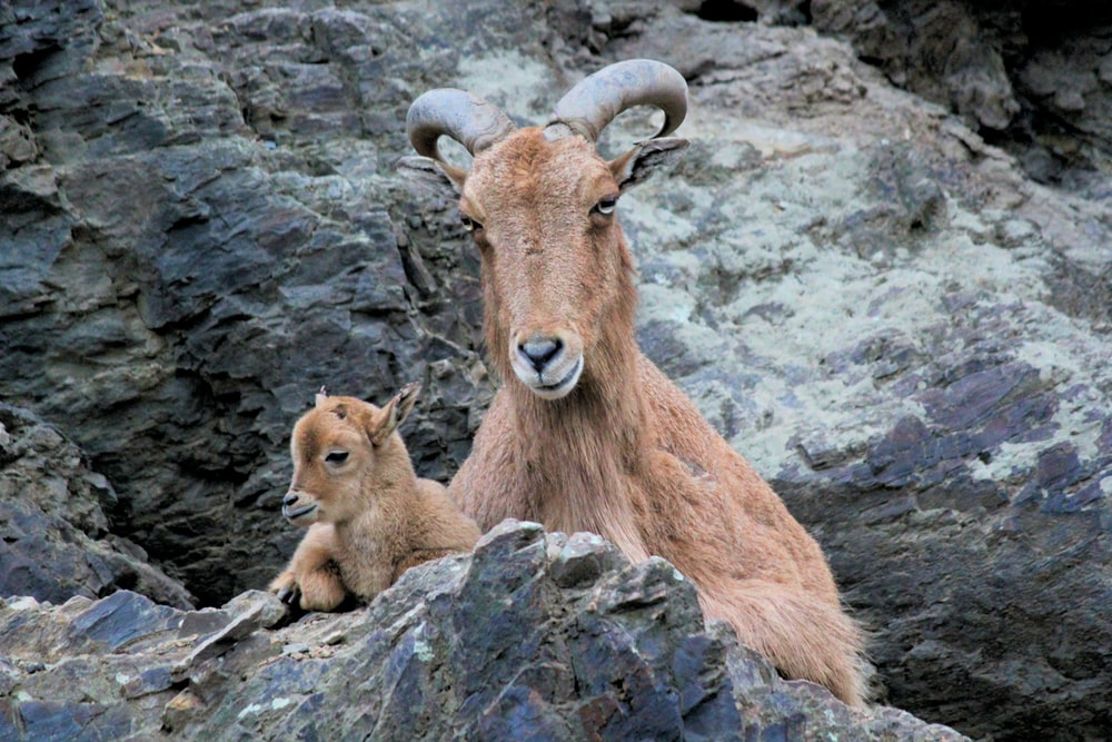 brown goat on rock formation