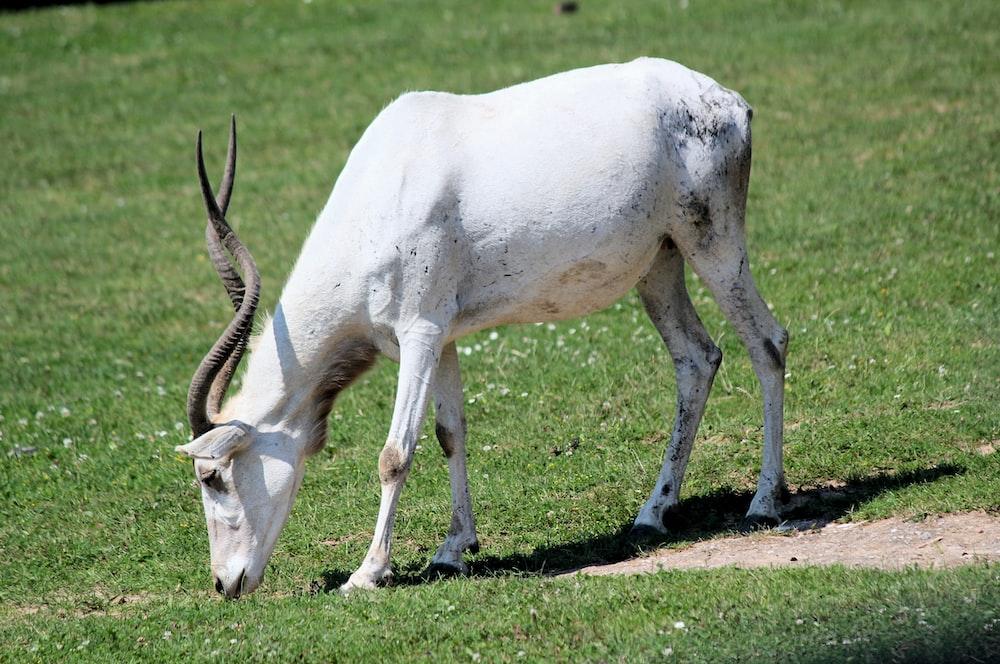 white animal grazing