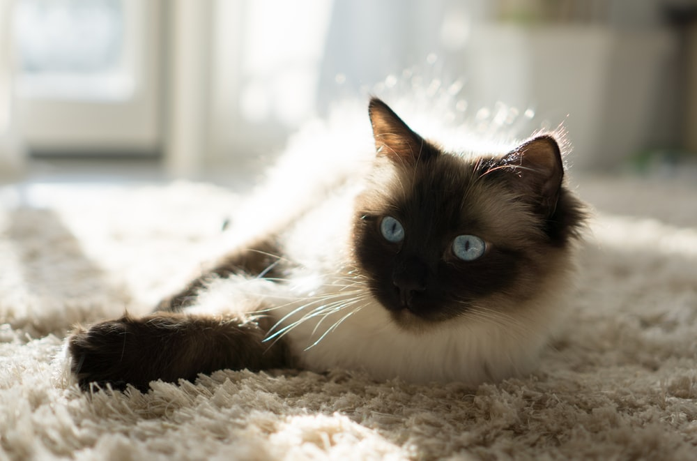 Himalayan cat lying on fleece